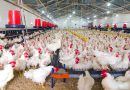 Poultry Farm in Romania